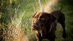 Stunning Brown Dog Wallpaper 44101