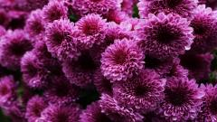 Stunning Chrysanthemums Wallpaper 35295
