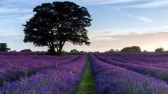 Stunning Lavender Wallpaper 21782