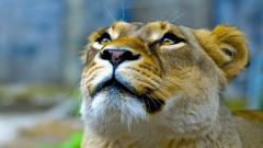Stunning Lioness Wallpaper 40735