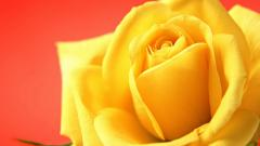 Stunning Yellow Roses 29683