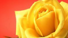 Stunning Yellow Roses 29683