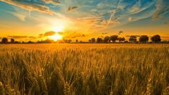 Wheat Field 24070