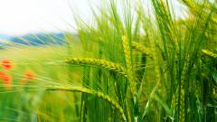 Wheat Wallpaper 24053