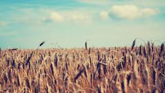 Wheat Wallpaper 24054