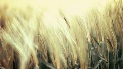 Wheat Wallpaper 24067