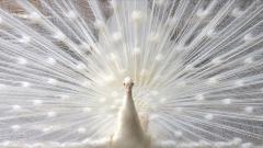 White Peacock 19919