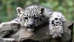White Tiger 25681
