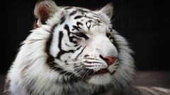 White Tiger 25684
