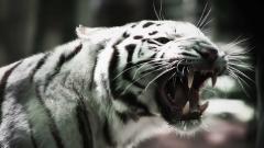 White Tiger 25688