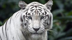 White Tiger 25692