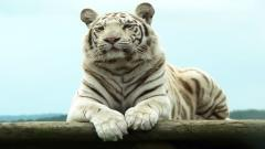 White Tiger Wallpaper 25676