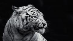 White Tiger Wallpaper 25678