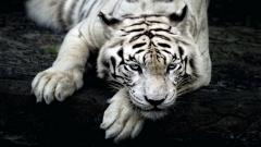 White Tiger Wallpaper 25683