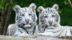 White Tiger Wallpaper 25686