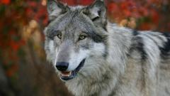 Wolf Up Close Wallpaper 39801