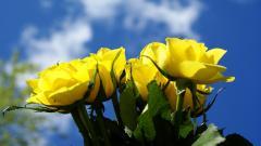 Yellow Roses 29666
