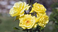 Yellow Roses 29668