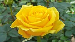 Yellow Roses 29669