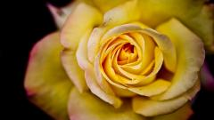 Yellow Roses 29670