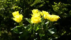 Yellow Roses Background 29676