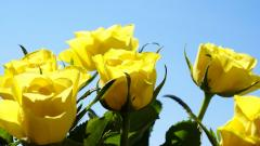 Yellow Roses HD 29678
