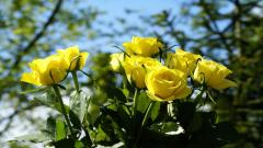 Yellow Roses Wallpaper 29667