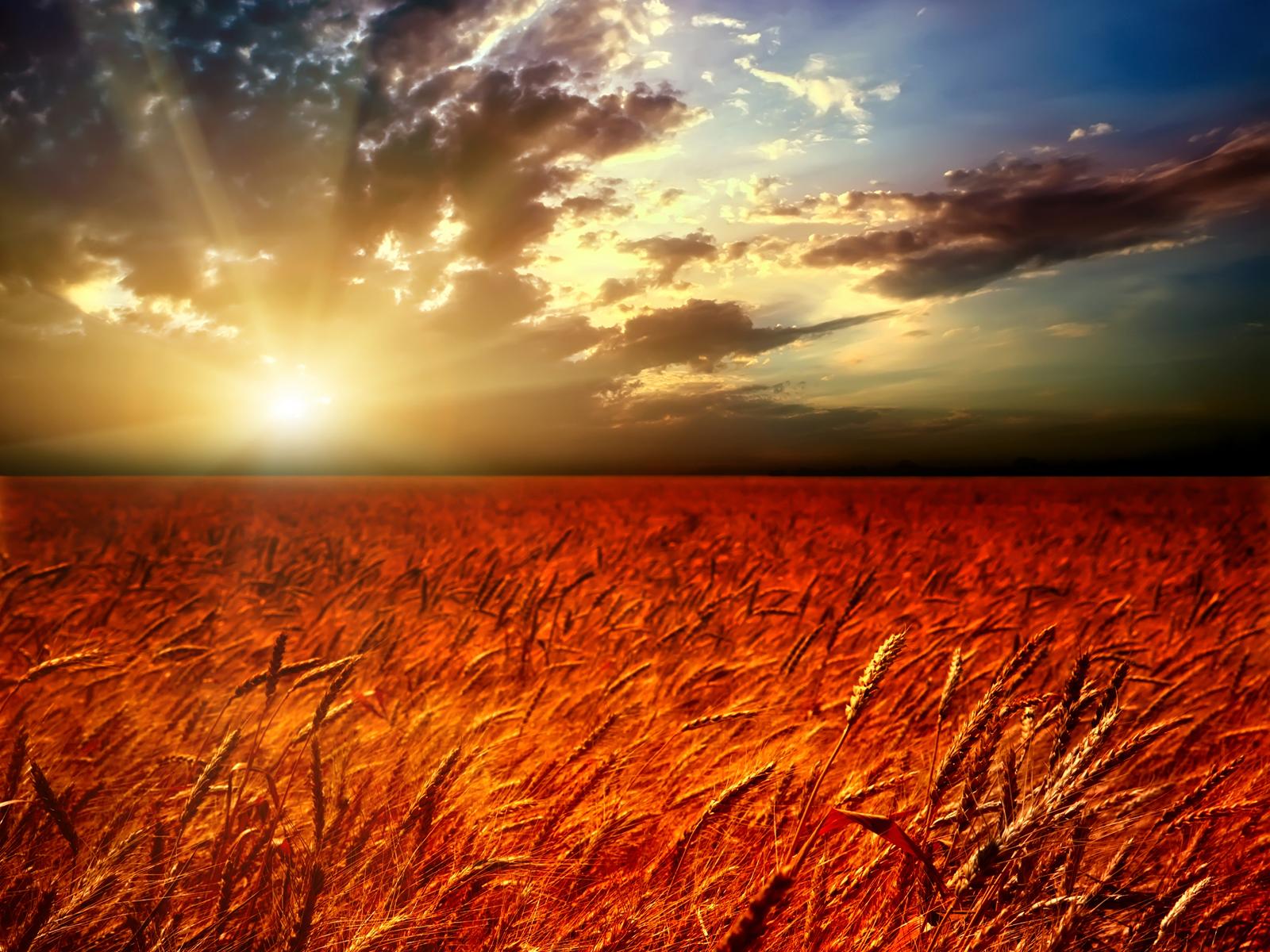wheat field wallpaper hd