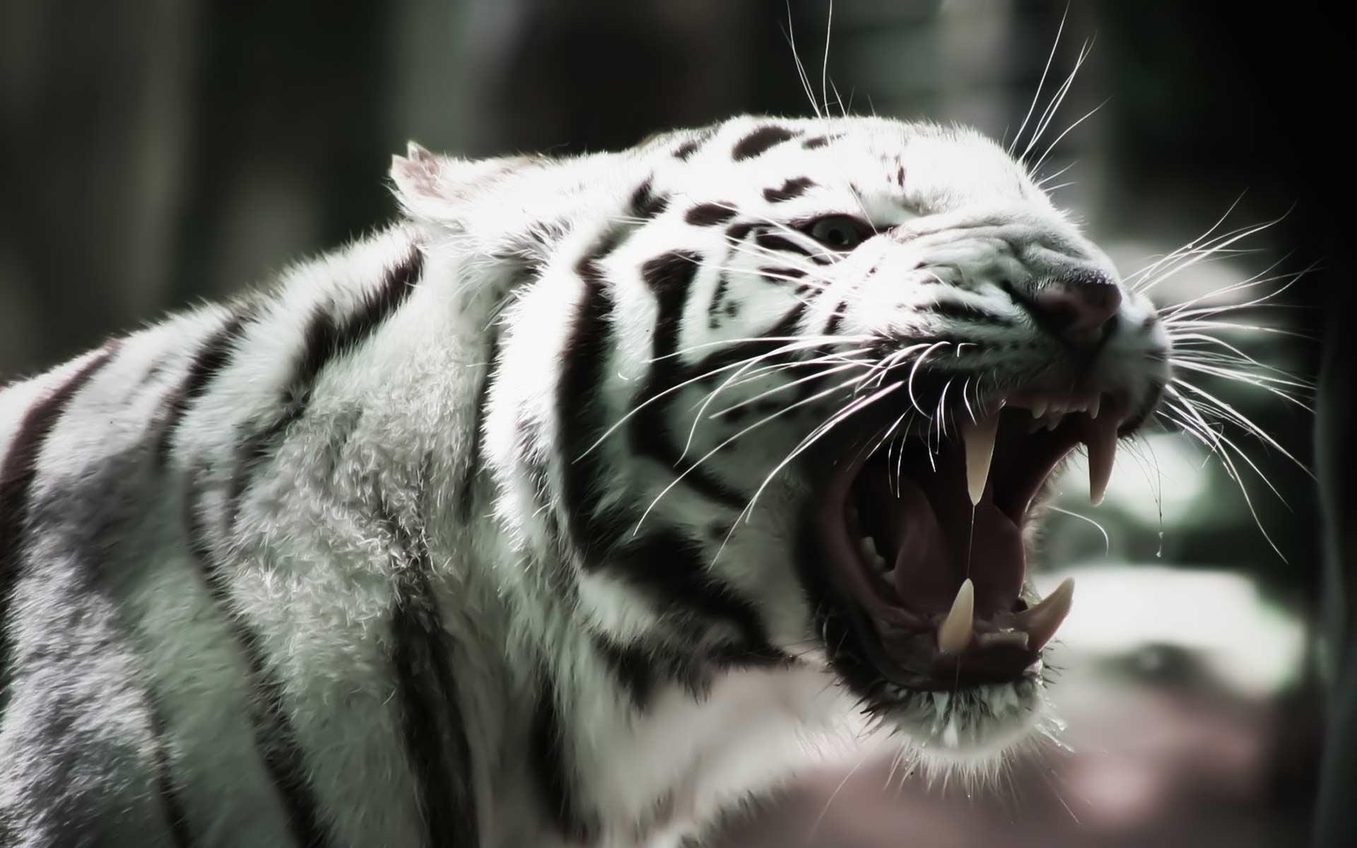 White tiger 25688 1920x1200 px hdwallsource white tiger 25688 voltagebd Images