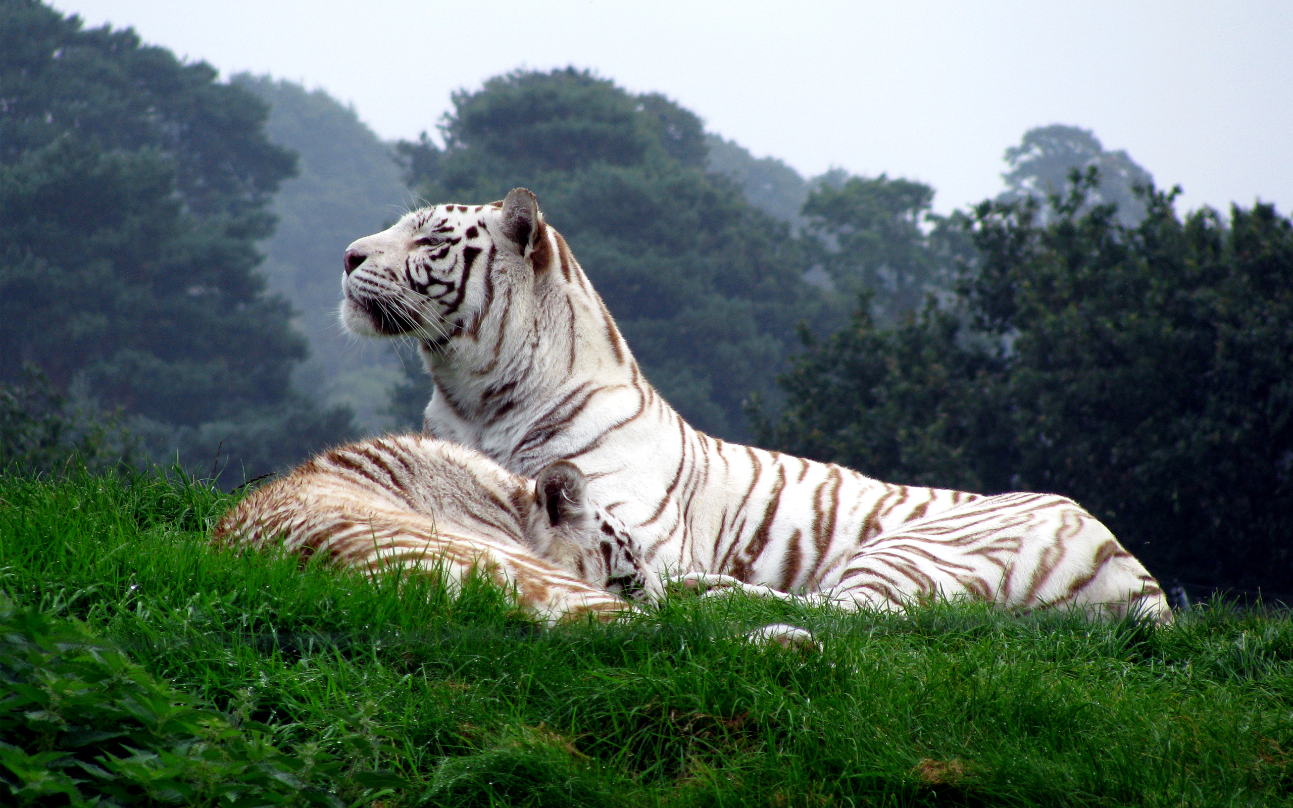 white tiger pictures 25687