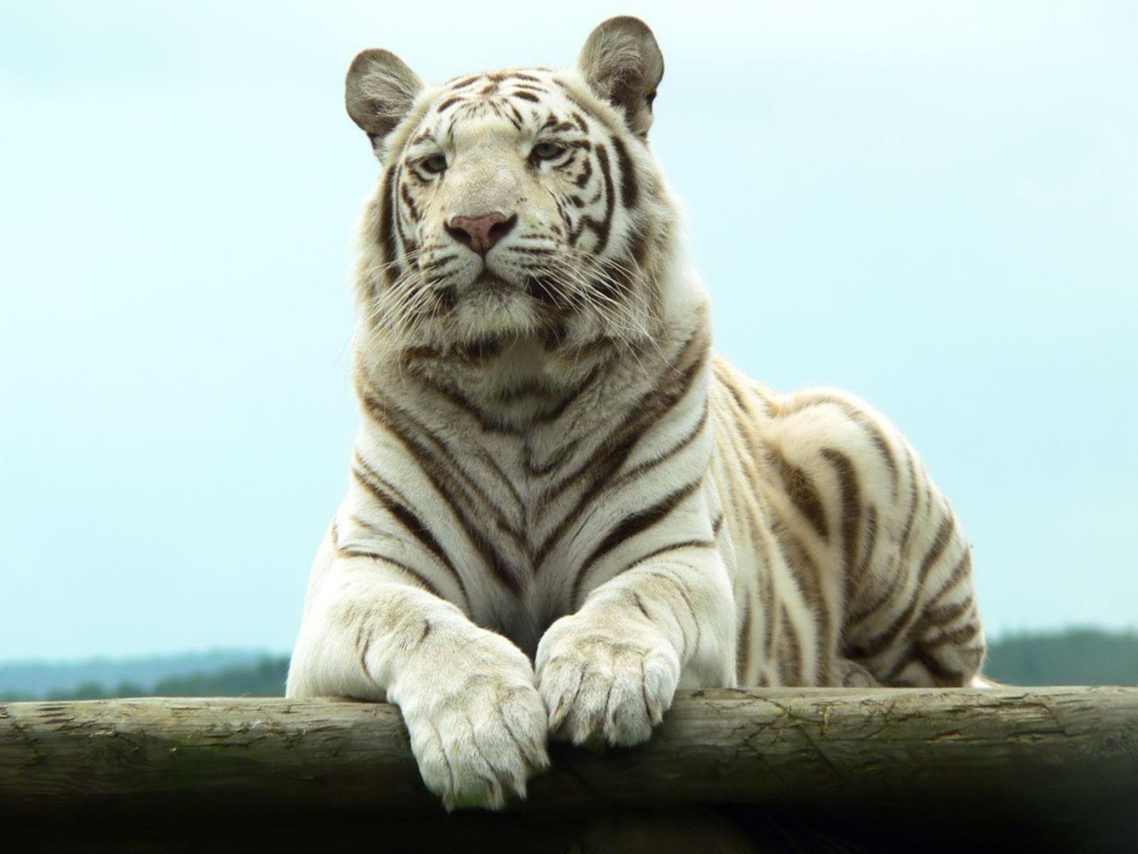 white tiger wallpaper 25676