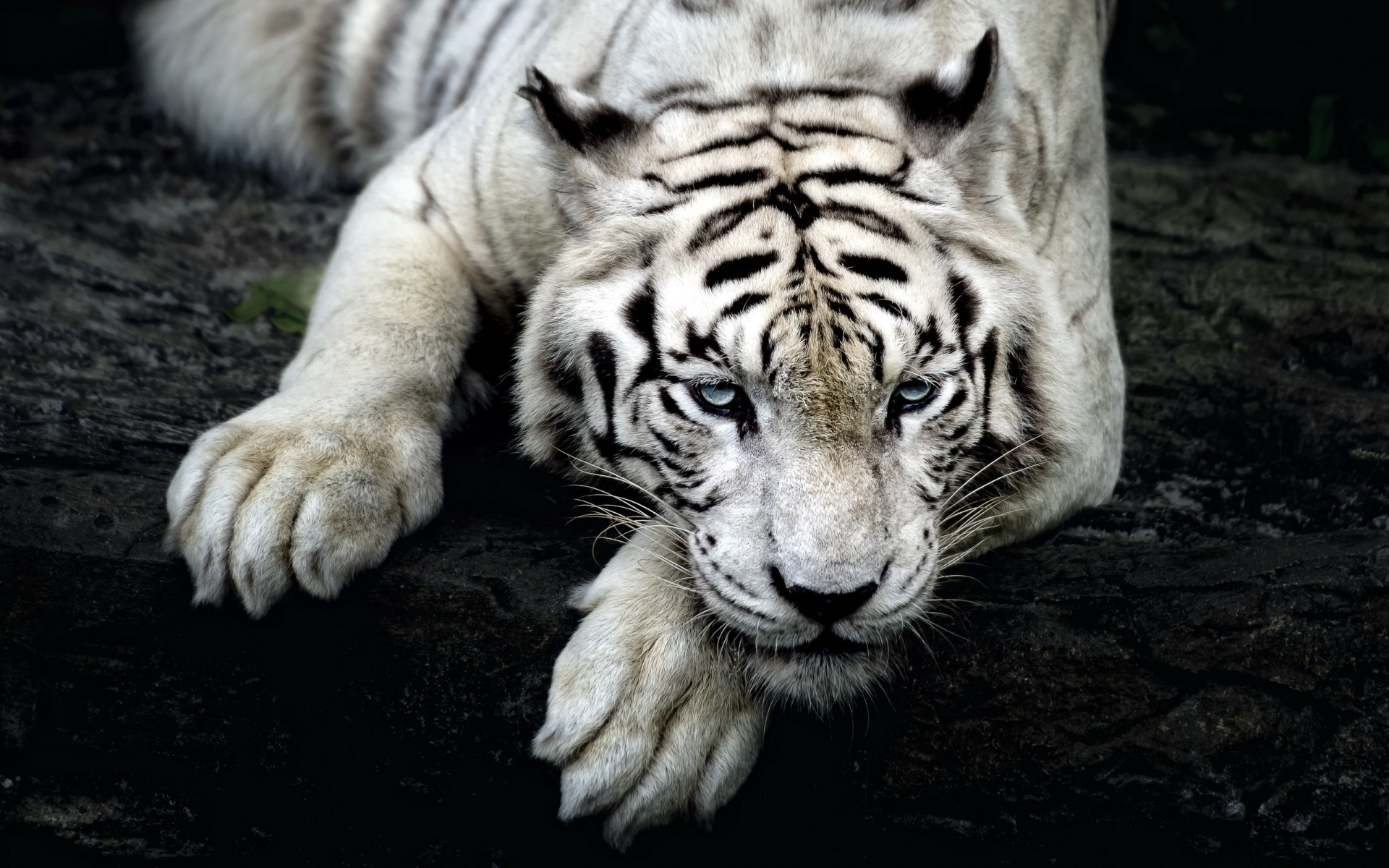 wallpaper hd white tiger - photo #38