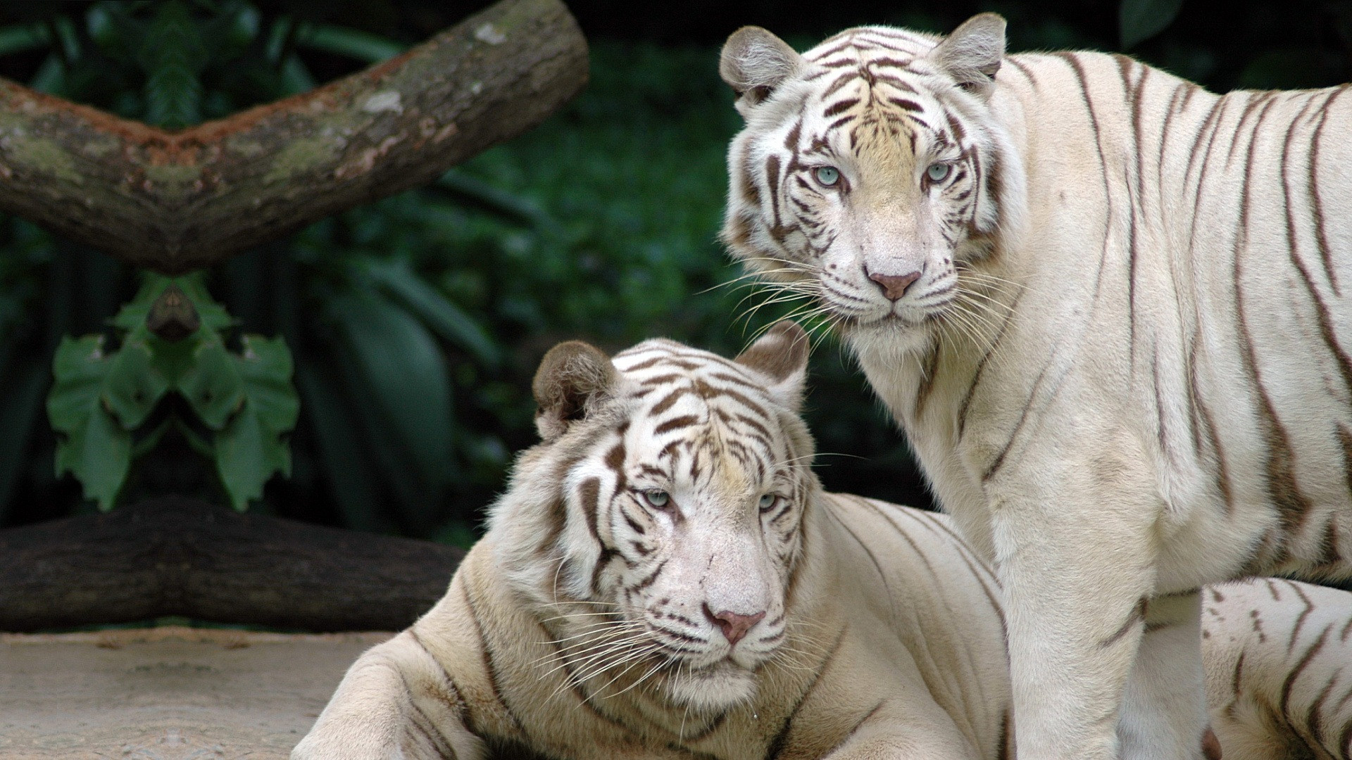 white tigers 25685