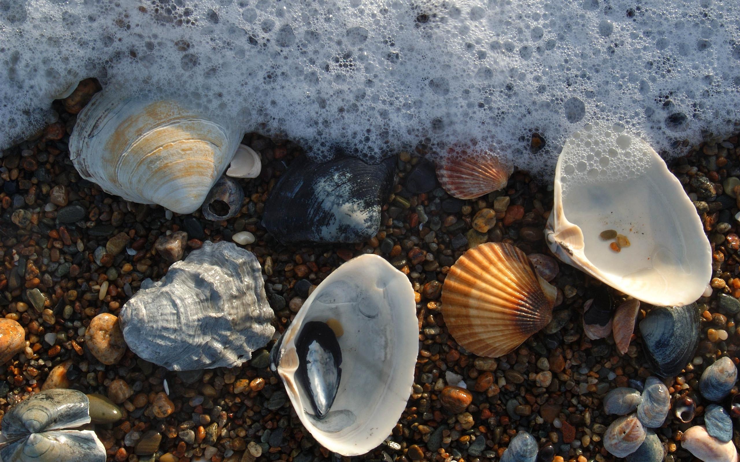 wonderful sea scallops wallpaper 43407