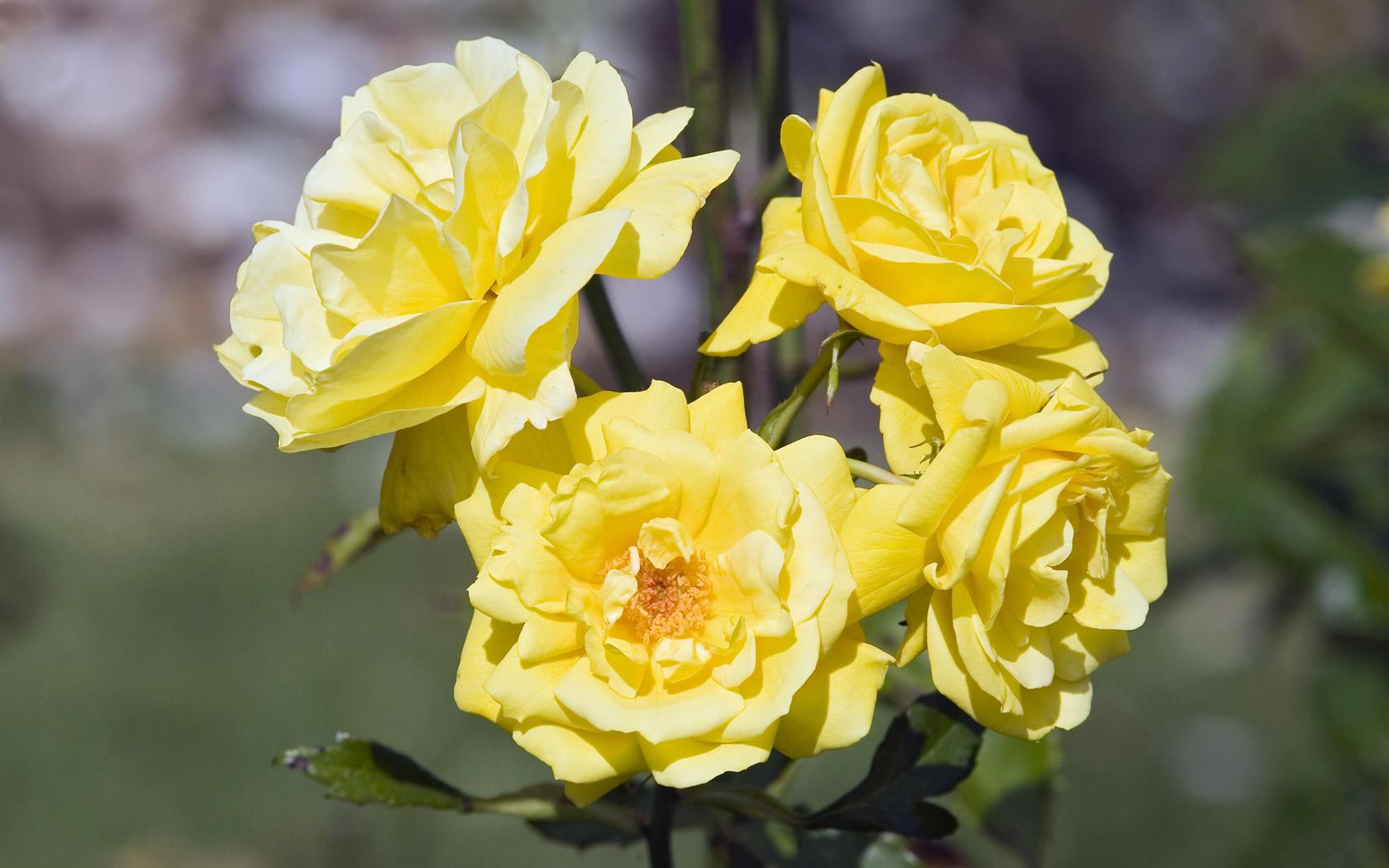 yellow roses 29668