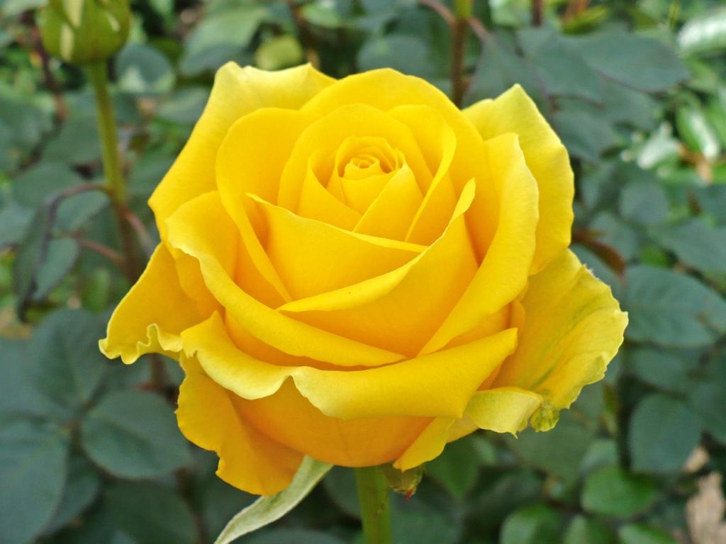 rose i love you wallpaper hd