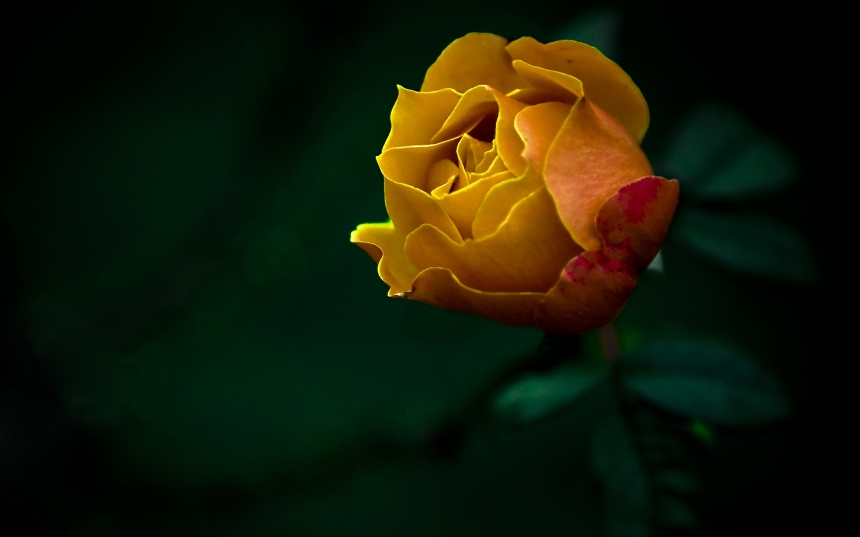 yellow roses hd 29673