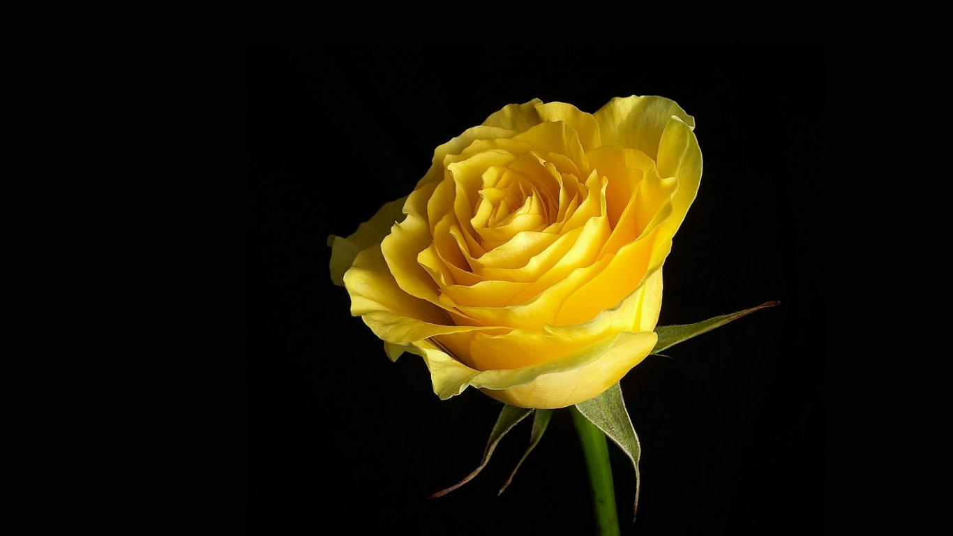 yellow roses picture 29671