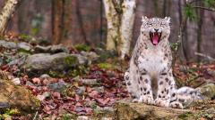 Snow Leopard Wallpaper 47017