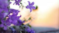 Violet Flowers Wallpaper 47018