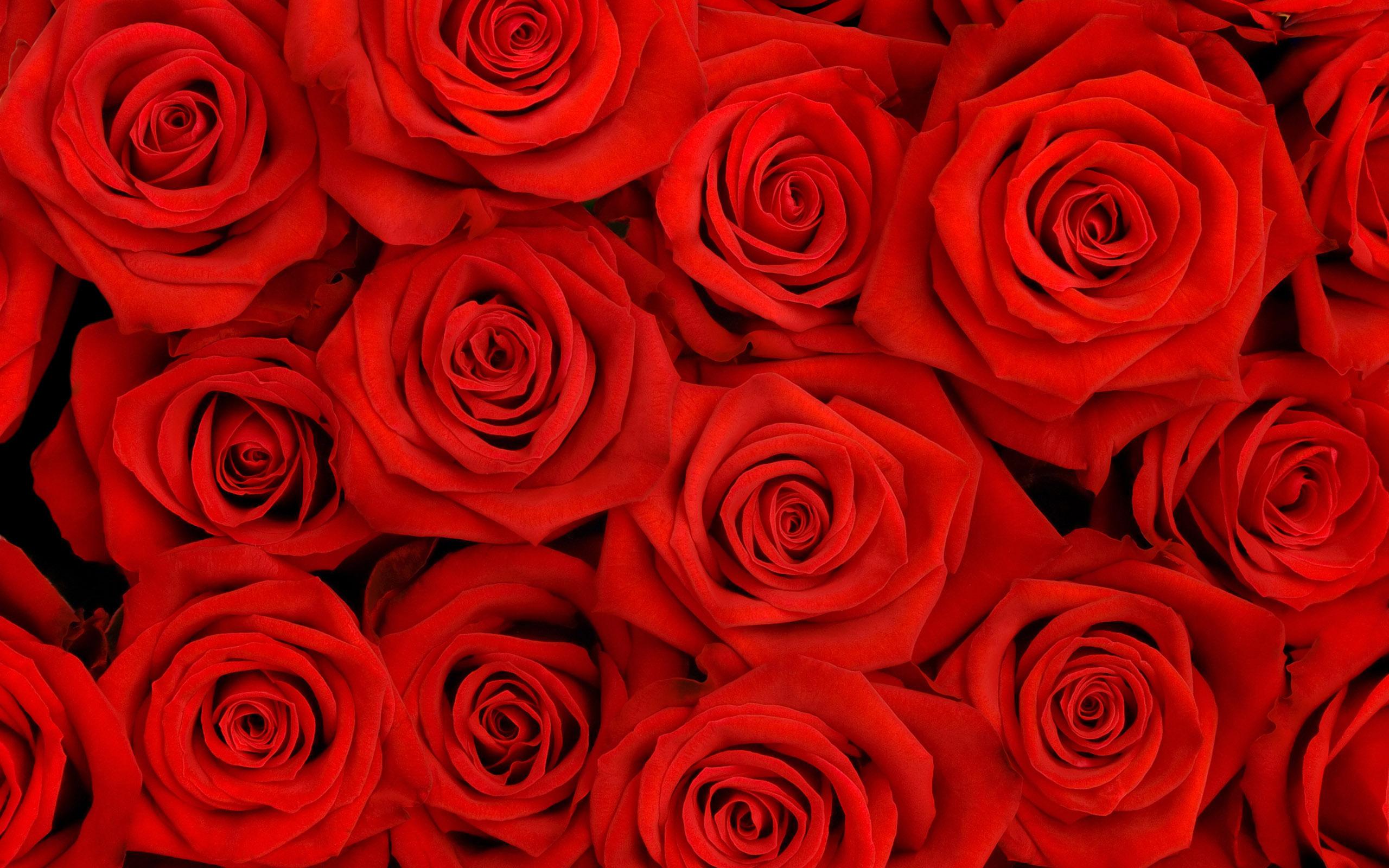 cool rose wallpaper 45384
