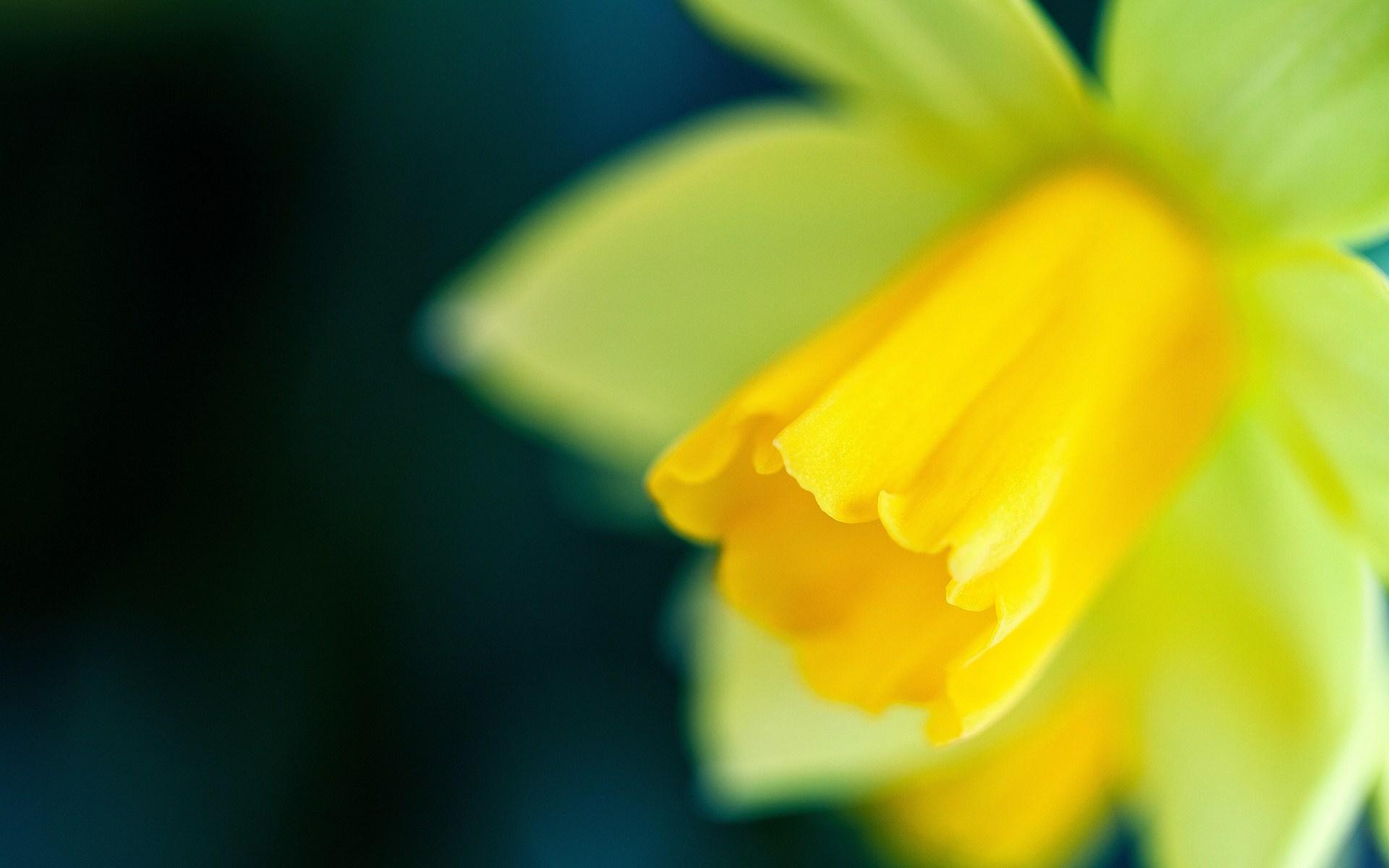 daffodil close up wallpaper 45404 1920x1200 px