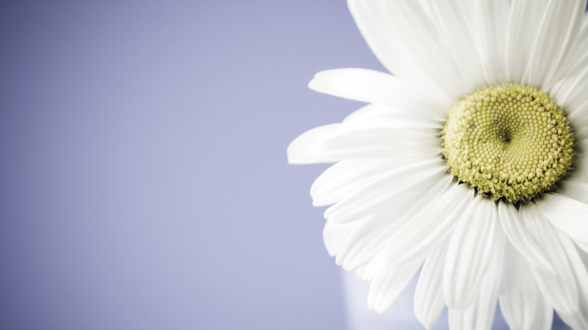 fantastic daisy wallpaper 45884