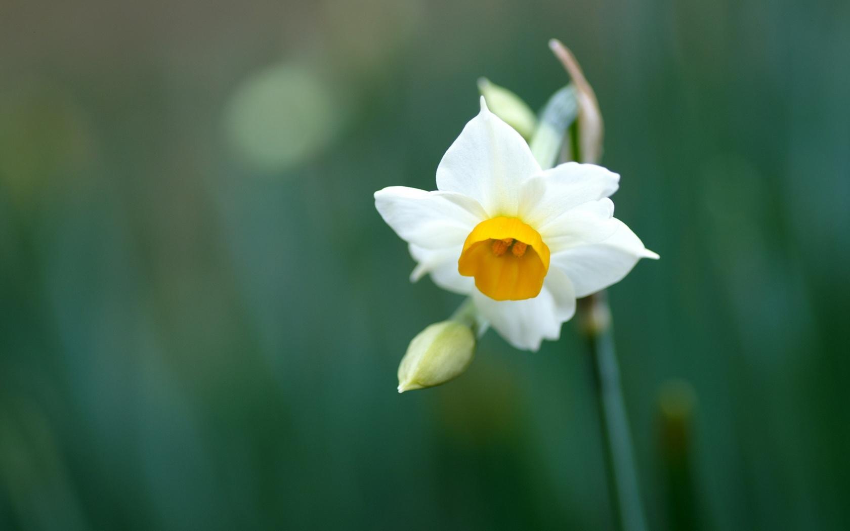 pretty daffodil wallpaper 45405 1680x1050px