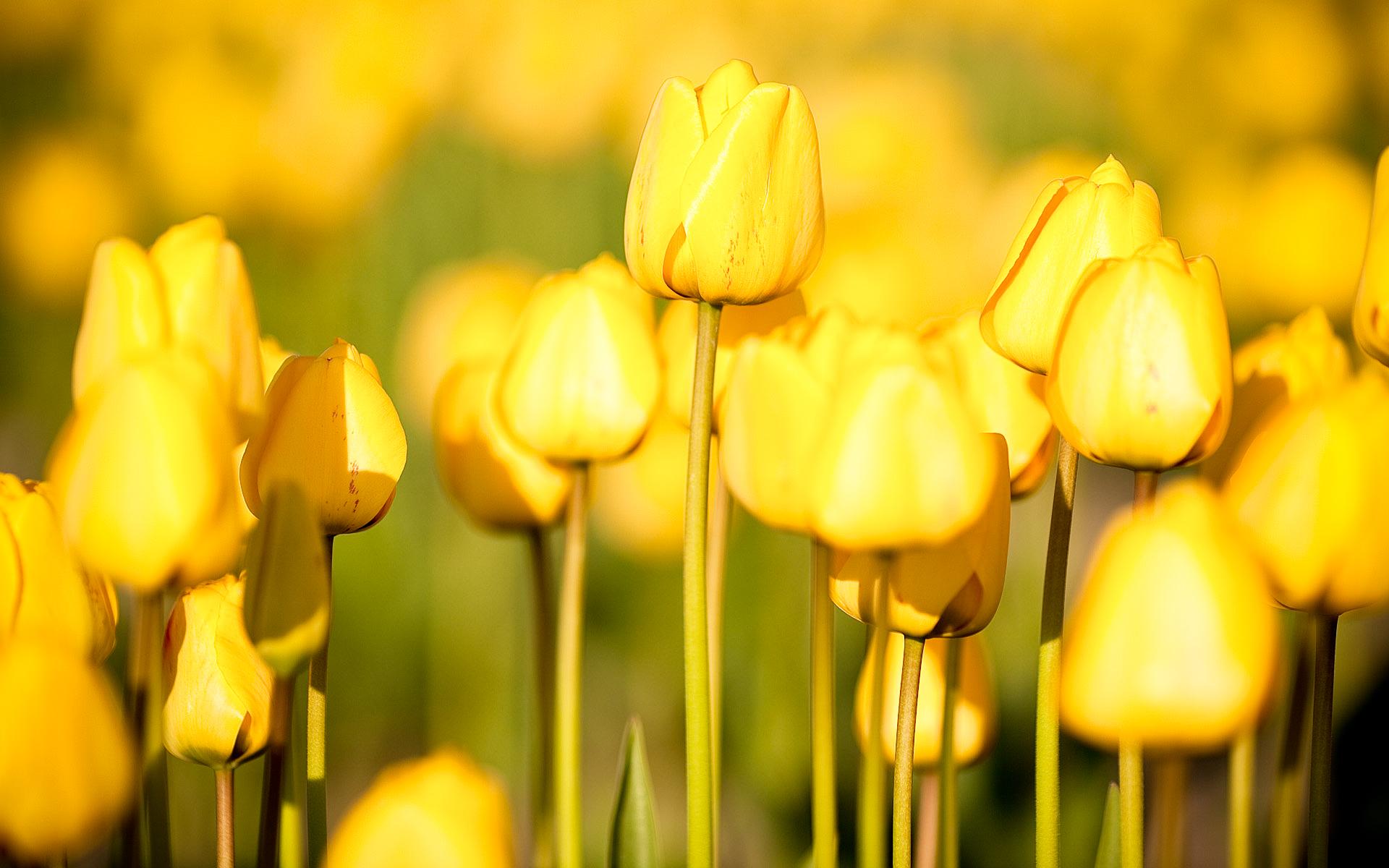 pretty tulips wallpaper 45881