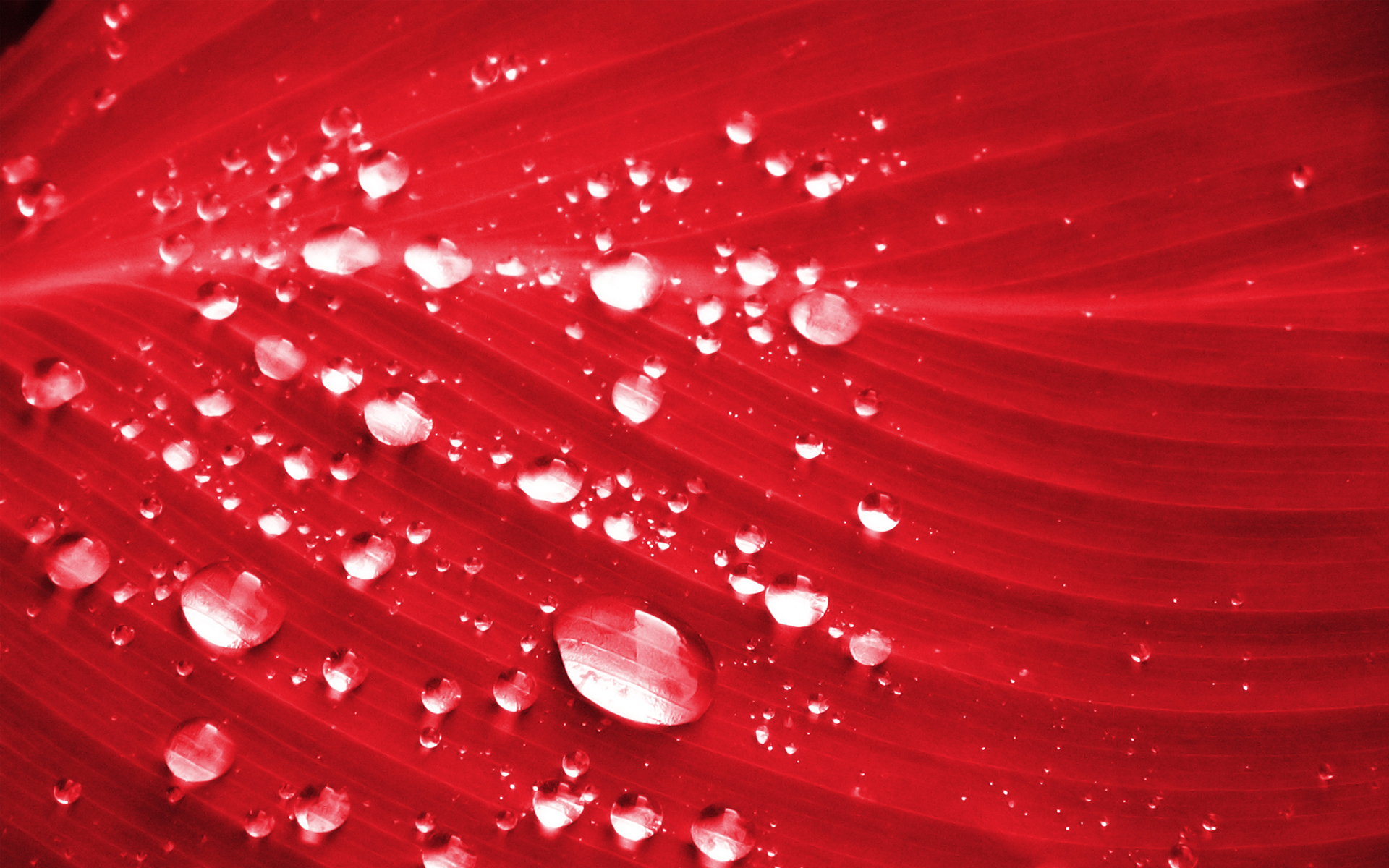 red petal wallpaper 46544