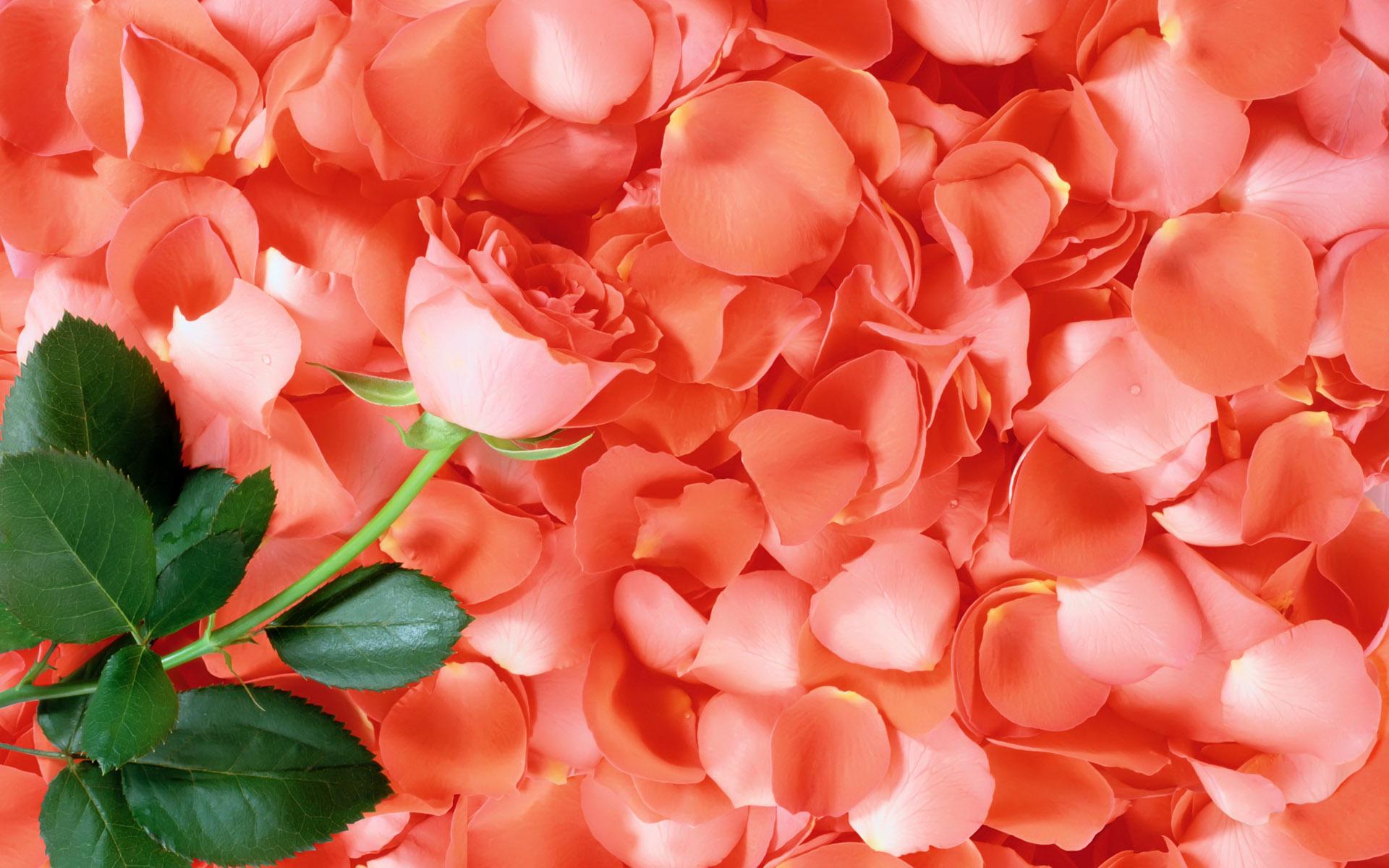 rose petals wallpaper 46542