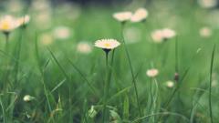 Daisy Wallpaper 45887