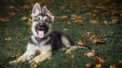 German Shepherd Wallpaper HD 47817