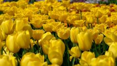 Gorgeous Tulips Wallpaper 45882